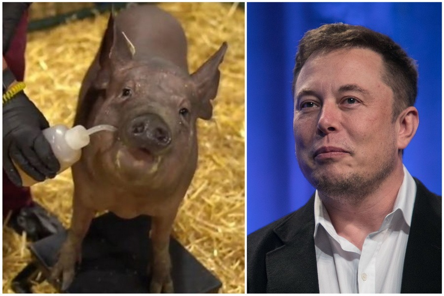 """""""Cyber-porcul"""": Elon Musk a prezentat un porc cu un cip implantat în creier, care i-ar putea vindeca în viitor pe oameni de Alzheimer (VIDEO)"""