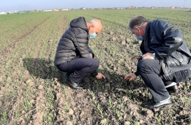 Peste 130.000 de ha de grâu în Timiș, în anul agricol 2020 -2021. Încă se mai seamănă