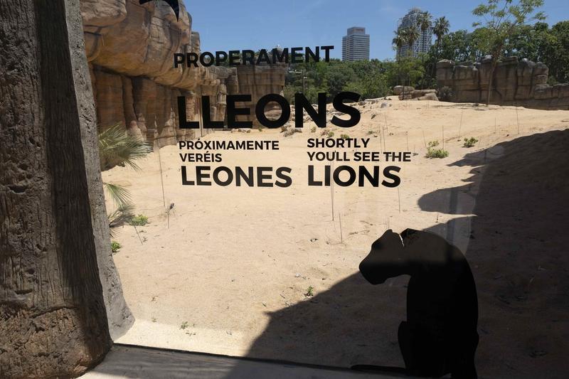 Patru lei de la Zoo Barcelona, bolnavi de Covid-19. Felinele au fost testate după ce au avut simptome