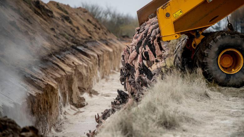 4 milioane de nurci, ucise luna trecută de teama COVID, vor fi dezgropate