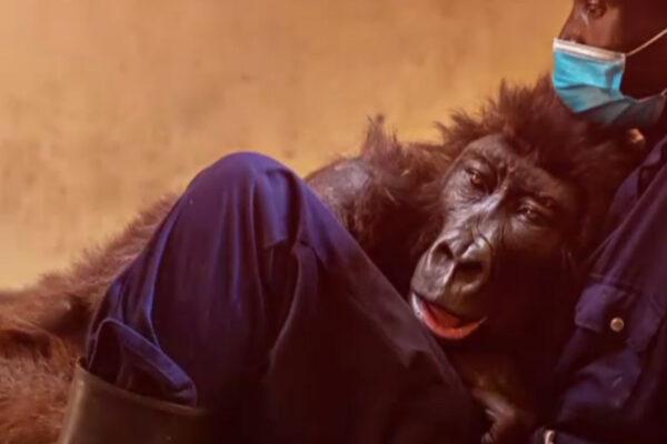VIDEO. Ndakazi, gorila făcută celebră de un selfie, a murit. Avea 14 ani și s-a stins în brațele celui care a îngrijit-o toată viața