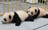 Îngrijitorii de la Zoo din Tokyo au publicat noi imagini cu puii gemeni de panda uriaş, născuţi acum trei luni