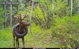 """Doi """"specialiști în faună sălbatică"""" au tăiat coarnele unui elan în loc să taie anvelopa blocată în jurul gâtului"""